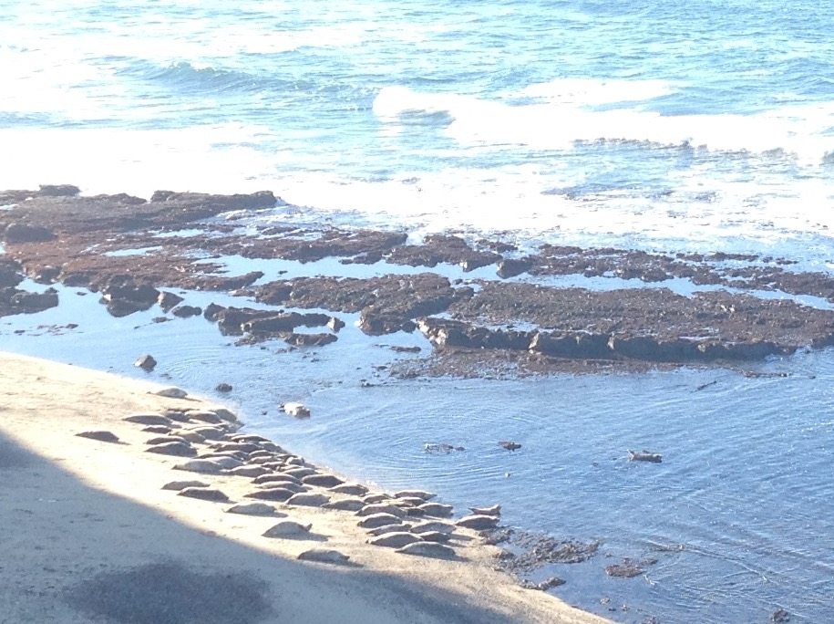 Harbor seals on the beach at Fitzgerald Marine Reserve
