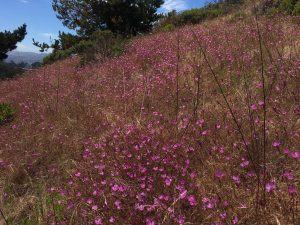 San Bruno Mountain wildflowers